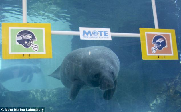 Manatee, NFL, Super Bowl Predictions, Super Bowl