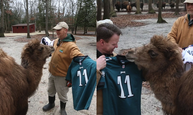 Animal Super Bowl Predictions 2018 Camel