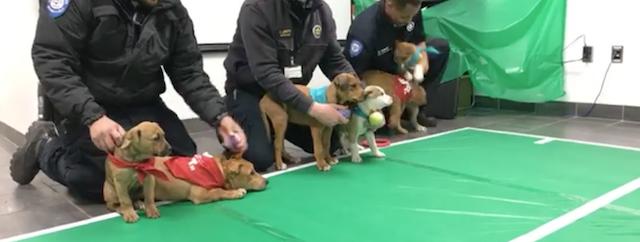 Animal Super Bowl Predictions 2018 Puppies